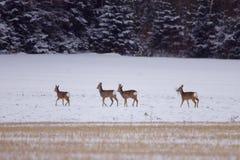 Biały ogoniasty rogacz w śnieżnym polu Zdjęcie Stock