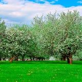 biały okwitnięć jabłczani drzewa Zdjęcia Royalty Free