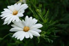 Biały okwitnięcia bokeh zbliżenie w ogródzie obraz royalty free