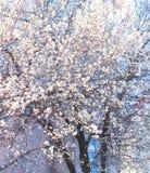 Biały okwitnięcia wielkie widowisko Jako wiosna Otwiera obrazy stock