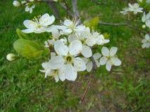 Biały okwitnięcie czereśniowy drzewo Fotografia Stock
