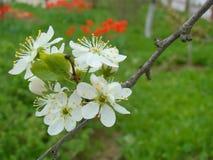Biały okwitnięcie czereśniowy drzewo Zdjęcia Royalty Free