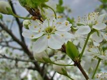 Biały okwitnięcie czereśniowy drzewo Fotografia Royalty Free