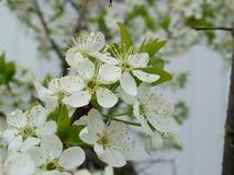 Biały okwitnięcie czereśniowy drzewo Zdjęcie Stock