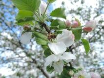 Biały okwitnięcie z pszczołą zdjęcie stock