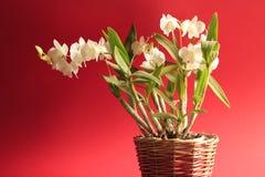 Biały orchidea, czerwony tło Fotografia Royalty Free