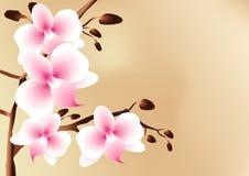 Biały orchidee z różowymi punktami, kwiatami i pączkami Fotografia Royalty Free