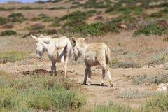 Biały osioł, osiadły wyspy asinara tylko, Sardinia Italy Zdjęcia Stock