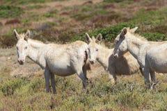 Biały osioł, osiadły wyspy asinara tylko, Sardinia Italy Fotografia Stock