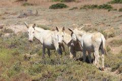 Biały osioł, osiadły wyspy asinara tylko, Sardinia Italy Zdjęcia Royalty Free