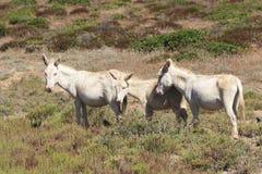 Biały osioł, osiadły wyspy asinara tylko, Sardinia Italy Fotografia Royalty Free