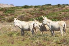 Biały osioł, osiadły wyspy asinara tylko, Sardinia Italy Obraz Royalty Free