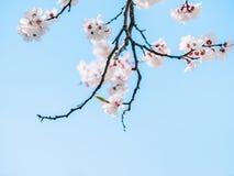 Biały ostrze i defocused kwiaty kwitnie drzewa kosmos kopii starożytny ciemności tła papieru akwareli żółty Kwitnące gałąź z biał obrazy royalty free