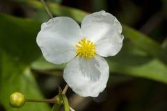 Biały płocha kwiat w New Hampshire bagnie obrazy stock