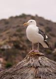 Biały Pacyficzny Seagull na pokrywającym strzechą dachu Zdjęcia Royalty Free