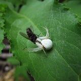 Biały pająk obrazy royalty free
