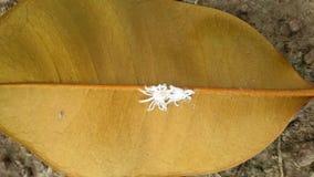 Biały pająk Obrazy Stock