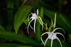 Biały pająka kwiat kwitnie z długą ręką kwitnie zdjęcia stock