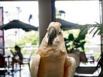 Biały papuzi spojrzenie ja? Żyje zoo obrazy royalty free