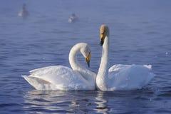 biały par łabędź Obrazy Royalty Free