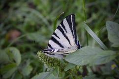 Biały pasiasty motyli obsiadanie na zielonej trawie Rzadki swallowtail, Iphiclides podalirius jest motylem, rodzina obrazy stock