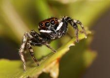 Biały pasiasty skokowy pająk na wapno liściu Zdjęcia Royalty Free