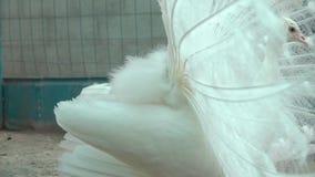 Biały paw Pokazuje ogon zbiory wideo