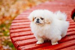 Biały Pekingese Peke Whelp szczeniaka Pekiński pies zdjęcia stock