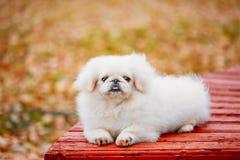 Biały Pekingese Peke Whelp szczeniaka Pekiński pies zdjęcie stock