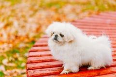 Biały Pekingese Peke Whelp szczeniaka Pekiński pies fotografia royalty free