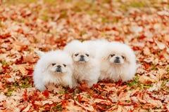 Biały Pekingese szczeniaków psa Pekiński obsiadanie Dalej Zdjęcie Royalty Free