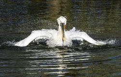 Biały pelikan czyści piórka zdjęcia royalty free