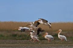 Biały pelikan (pelecanus onocrotalus Obraz Royalty Free