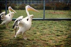Biały pelikan suszy swój skrzydła fotografia stock
