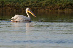 Biały pelikan w Danube delcie obrazy royalty free
