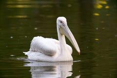 Biały pelikan w jeziorze obraz royalty free