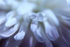 Biały peoni tło Obraz Royalty Free