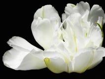 Biały peonia obraz stock