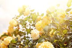 Biały peonia Zdjęcia Royalty Free