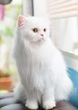 Biały Perski kot ustawiający na kanapie Obrazy Stock