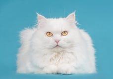 Biały Perski piękno Zdjęcie Stock