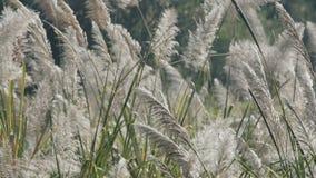 Biały piórkowaty trawy dmuchanie zbiory