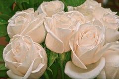 biały piękne róże Obrazy Stock