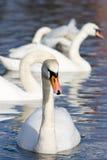 biały piękni łabędź obraz royalty free