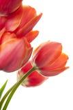 biały piękni świezi odosobneni tulipany Zdjęcie Stock