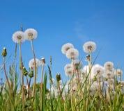 biały piękni dandelions Fotografia Stock