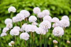 biały piękni kwiaty Obrazy Royalty Free