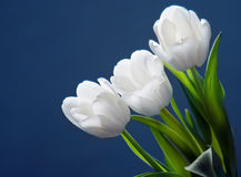 biały piękni tulipany zdjęcia royalty free