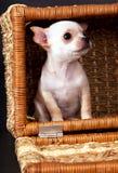 Biały piękny mały chihuahua szczeniaka obsiadanie fotografia stock