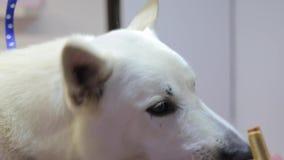 Biały pies głowy łasowania jedzenie zbiory wideo
